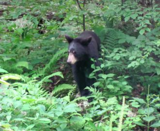someone spots a black bear among the fauna along the river Downriver Canoe Company Shenandoah Valley River