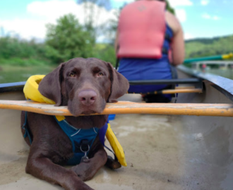 calm chocolate lab with life jacket enjoys the calm waters with mom in a canoe